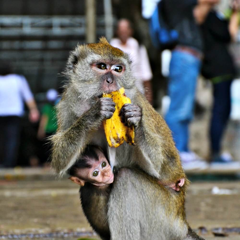 Monkey in South East Asia